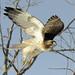 red tail hawk in flight (adult) von steve courson