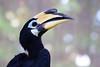 Oriental Pied-hornbill (Peter Nijenhuis) Tags: bali indonesia 500d orientalpiedhornbill ef70300mmf456isusm anthracocerosalbirostris tamanburungbalibirdpark peternijenhuis