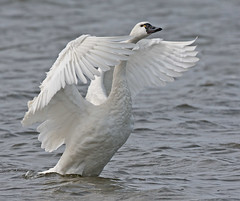 Tundra Swan Wing Stretch Pea Island National Wildlife Refuge North Carolina (kevansunderland) Tags: birds duck swan north