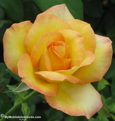 IMG_1098_crop-EPCOT-yellow-rose