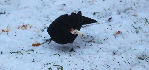 Blackbird with Cake 1