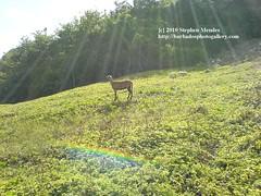 Barbados Black Belly Sheep [Dsc00823] (smendes) Tags: sunlight rain island rainbow paradise lensflare refraction tropical barbados rays rainfall blackbellysheep