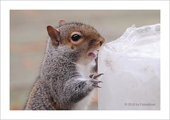 """Squirrel """"on the rocks"""" (fotocitizen) Tags: winter ice animal rodent squirrel eating invierno comer hielo roedor"""