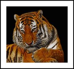 _MG_9625E (Ralston Images) Tags: animal cat canon feline wildlife jaguar sumatrantiger puma panther siberiantiger pantheratigrisaltaica amurtiger bengaltiger jrphotography jasonralstonphotography