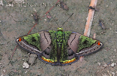 Caria mantinea? (macronyx) Tags: peru nature butterfly insect wildlife insects papillon mariposa schmetterling farfalle fjäril metalmark caria sommerfugle riodinidae greenmantle perhoset riodininae riodinini cariamantinea mantineametalmark