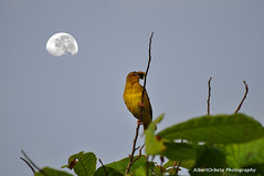 Fly Me to the Moon (12/365) (techbhoy) Tags: moon bird nikon birdwatching birdwatcher equatorialguinea yellowbird nikkor70300mm biokoisland d5000