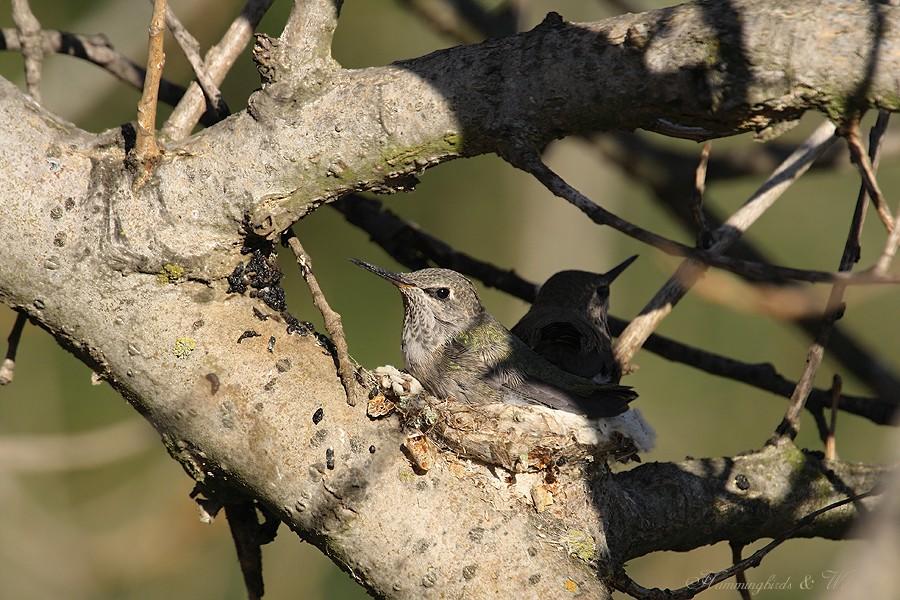 Anna's Hummingbird fledgling 091