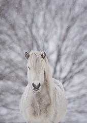 Ice (Ggja Einars..) Tags: horses horse white cute animals canon grey iceland spirit gorgeous whitehorse equine icelandic icelandichorse hestur icelandichorses 50d hesturinn ggja gigja grni einarsdottir gigjaeinarsdottir
