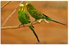 Made for each other (Sh@dows) Tags: green bird love yellow canon zoo couple pair 7d lovebirds madeforeachother sarin sarinsoman eos7d canon7d alaizoo canonef24105mm4fisl