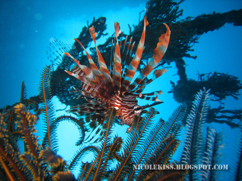 nice shot of lion fish 3