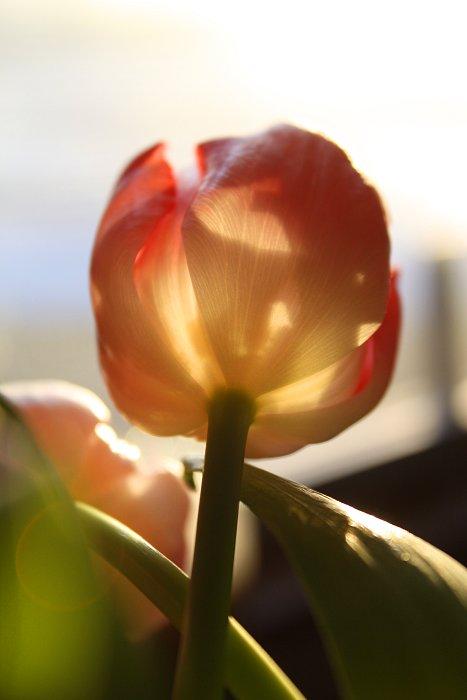 01-27-tulip6