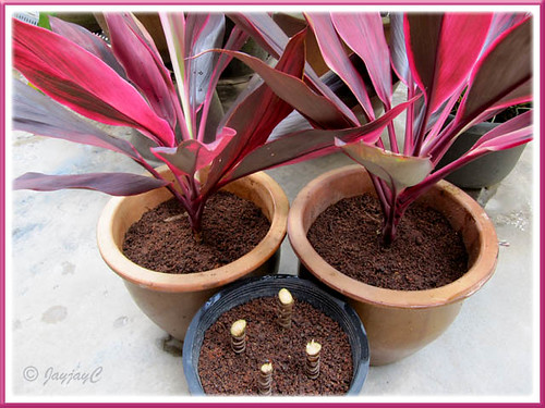 Propagating Hawaiian Ti or Ti Plant (Cordyline terminalis)