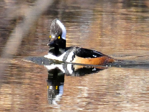 hooded merganser face front