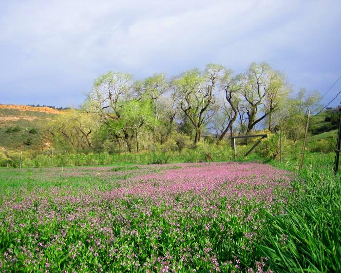 The old and twisted cottonwoods were wearing the lacy light green of spring and standing over a field of purple wildflowers.