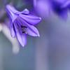 ...when you are all I see... (jewelflyt) Tags: flower macro square petals lyrics purple bokeh stamen cropped awake agapanthus processed joshgroban hpps perfectpurplesaturday