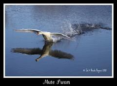 Mute Swan_BM_221109 (sid1951) Tags: muteswan brandonmarsh canon50d carltonhide
