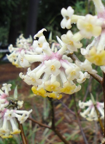 Edgeworthia Pink close up