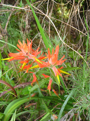 Indian Paintbrush Photo