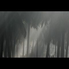 . (sash/ slash) Tags: mist cold tree coconut bangalore sash chill sajesh varathur
