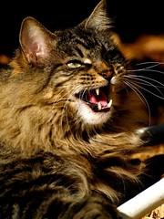 "Tiger ""I Am King"" (joecrowaz) Tags: arizona cats pets phoenix animals warning olympus 300mm fangs talking wildcat zuiko soe e500 coth supershot bej mywinners kissablekat bestofcats platinumphoto kittyschoice goldstaraward rubyphotographer catmoments coth5 friendsofzeusphoebe"