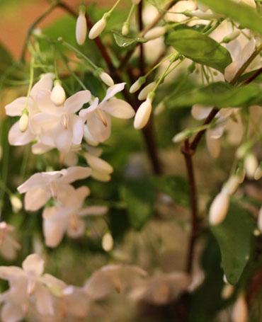 Wrightia religiosa Blooms