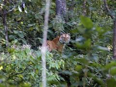 Tiger - Corbett National Park