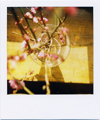 (masaaki miyara) Tags: pink japan polaroid spring feb base 680 2010 japaneseplum    2 600film   redplum  argylestreettearoom