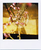 (masaaki miyara) Tags: pink japan polaroid spring feb base 680 2010 japaneseplum 光 梅 春 2月 600film 紅梅 ポラロイド redplum 初春 argylestreettearoom 窓辺