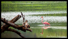 Flamingo 1 (Another Jose) Tags: pink color reflection green bird beach nature water birds animals reflections landscape puerto lago photography photo amazing interesting day alone outdoor flamingo picture lagoon rico norte camuy