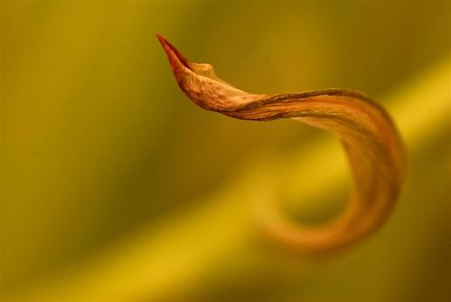 Curly leaf