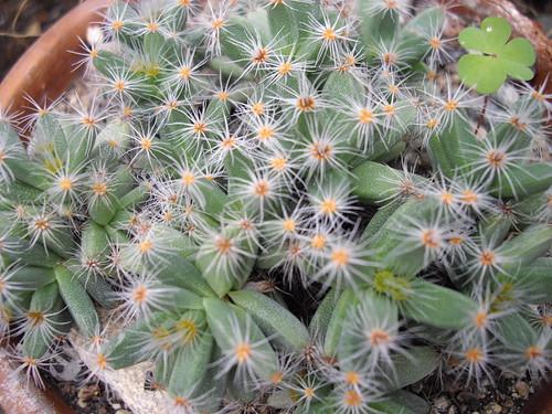 kaktus s detelinka