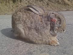 Wild Rabbit With Myxomatosis (frogdog*) Tags: rabbit bunny myxomatosis gettyimageswants blindrabbit rabbitwithmyxomatosis rabbitcruelty