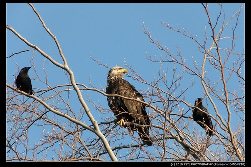 Bald Eagle (Haliaeetus leucocephalus) and crows
