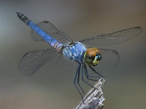 Beautiful blue dragonfly out at Gubarra pools
