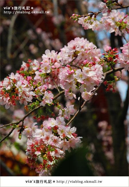 【淡水天元宮櫻花】跟著via賞花趣~天元宮櫻花最新花況15
