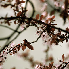 Spring, sprung 48/365 (LittleputPortfolio) Tags: pink macro water rain river portland cherry blossom plum pdx burgandy sakira