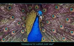 Someone To Watch Over Me (ihughes22) Tags: nature peacock champions liverpoolecho superphotographer nikondigitalmagic mywinners nikond40 liverpooldailypost theperfectphotographer picturesworthathousandwords lydiatehall worldnaturewildlifecloseup paololivornosfriends nikondigitalslrs worldmasterpieceaward liverpoolphotographers mygearandme ihughes22 flickrshutterspace