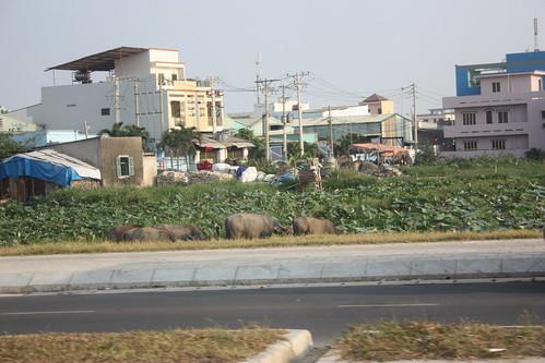 Water Buffalo near houses