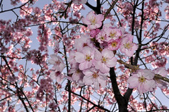 cherry blossoms today in Yokohama (ogawa san) Tags: cherry  cherryblossoms yokohama    kanazawahakkei colorphotoaward