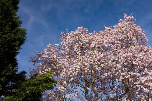 star magnolia tree pictures. Pink Star Magnolia Tree -