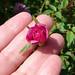 87/365: Tiny Pink Rose