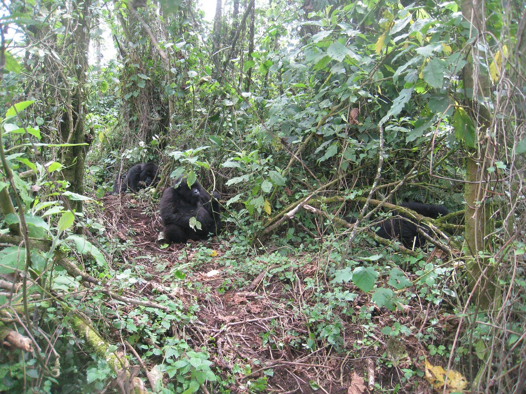These three gorillas were quietly hanging out behind us.