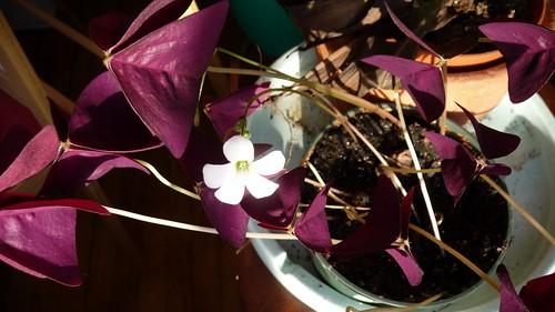 Oxalis in bloom