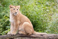 2010-04-03-10h04m55.272P7092l (A.J. Haverkamp) Tags: zoo rotterdam blijdorp lion dierentuin leeuw diergaardeblijdorp naui httpwwwdiergaardeblijdorpnl canonef100400mmf4556lisusmlens dob09092009