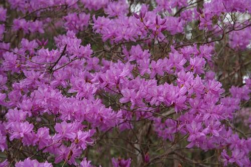 Rhododendron dilatatum ミツバツツジ