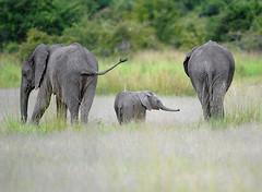 Elephant family, South Luangwa, Zambia