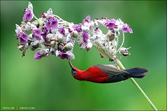 Crimson Sunbird (jzsfotografix) Tags: flower singapore sunbird crimsonsunbird mandaiorchidgarden colourfulbirds