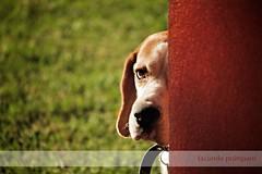 Hide and Seek (Facundo Prámparo) Tags: dog moon beagle argentina kyle paint bokeh perro actions bokehlicious