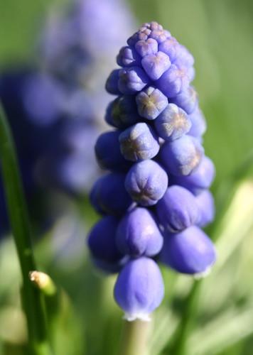grape hyachinth