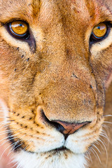 I Have Seen Tomorrow (Taraji Blue) Tags: africa animals female kenya wildlife lion safari mara lioness maasaimara pantheraleo